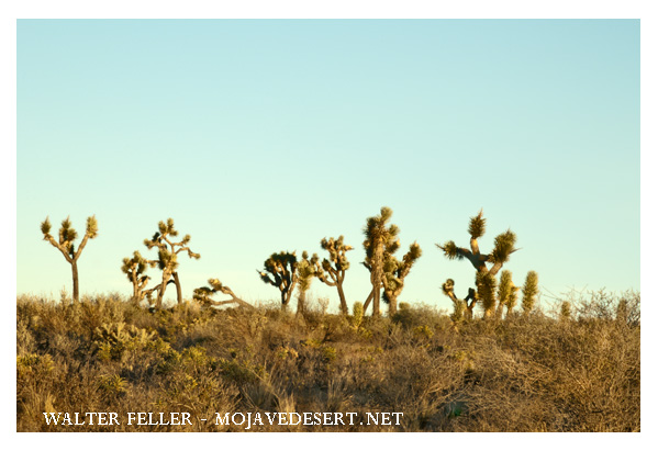 Picture of Joshua trees in the Mojave Desert